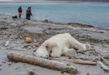To many Humans – not enough Polar Bears