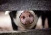 China's swine fever outbreak may spread in Asia