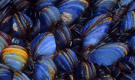 blue mussells