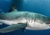 Here's Why Great White Sharks Are Natural-Born Superheroes