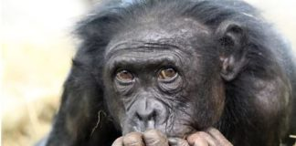 Why Haven't All Primates Evolved into Humans?