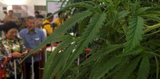 Thailand unveils first batch of medical marijuana for hospital distribution