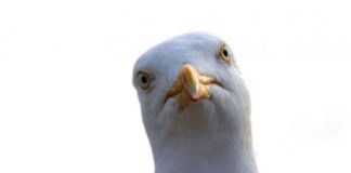 Stare at Seagulls and They'll Leave Your Food Alone
