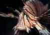 The Voracious and Invasive Lionfish Is Taking Over the Atlantic. Here's Why.