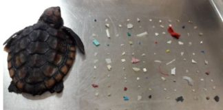 Depressing Image Shows Dead Baby Sea Turtle Found with 104 Pieces of Plastic in Its Belly