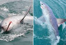Fisherman catches record-breaking 7ft 'monster' shark